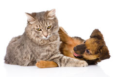 Cat and dog fights. isolated on white background.  royalty free stock photography