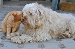 Cat and dog. Cat and fluffy dog friendship royalty free stock photo