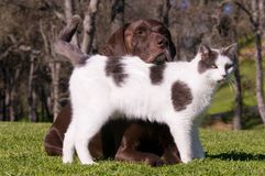 Cat And Dog Friends. Outdoor relationship comp close up of a German Shorthaired Pointer and a white and black cat who are best friends Royalty Free Stock Photography