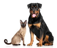 Cat and dog in front of white background Stock Photography