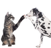 Cat and dog give high five. Isolated Stock Photography