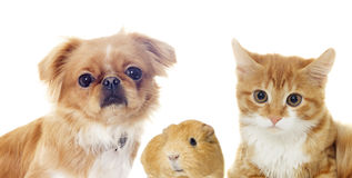 Cat and a dog and guinea pig Royalty Free Stock Image