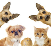 Cat and a dog and guinea pig Stock Photo