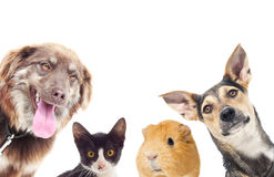 Cat and a dog and guinea pig Stock Photos