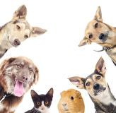 Cat and a dog and guinea pig Stock Photography