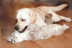 Cat and dog are great friends. A cat and a dog jostle and love each other, cute hugs lie on the dark wooden floor Royalty Free Stock Image