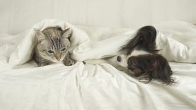 Cat with a dog lies under blanket on the bed. Cat with a dog lies under a blanket on the bed Royalty Free Stock Photos