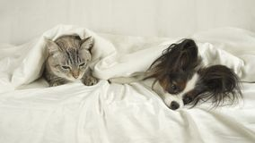 Cat with a dog lies under blanket on the bed. Cat with a dog lies under a blanket on the bed Stock Photos