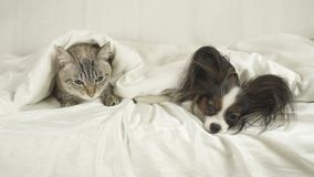 Cat with a dog lies under blanket on the bed. Cat with a dog lies under a blanket on the bed Stock Image
