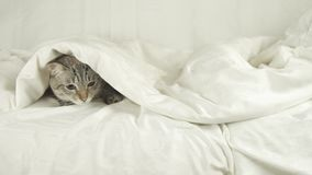 Cat with a dog lies under a blanket, dog jumps off the bed stock footage video