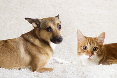 Cat and dog looking. On a white carpet Royalty Free Stock Image