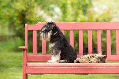 Cat and dog love. Miniature schnauzer turned back to its cat friend royalty free stock photography