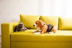 Cat and dog in one room. The cat and the dog are lying on the sofa Royalty Free Stock Image
