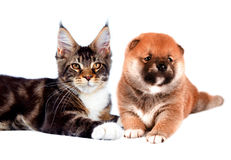 Cat and dog. Maine coon, shiba inu looking up with Stock Photography