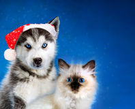Cat and dog, neva masquerade kitten, siberian husky together. Christmas. Cat and dog, maine coon, siberian husky looks at left Royalty Free Stock Images