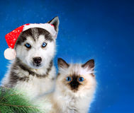 Cat and dog, neva masquerade kitten, siberian husky together. Christmas. Cat and dog, maine coon, siberian husky looks at left Royalty Free Stock Photos