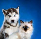 Cat and dog, neva masquerade kitten, siberian husky together. Cat and dog, maine coon, siberian husky looks at left Royalty Free Stock Image