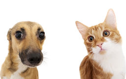 Cat and dog peeking. On a white background royalty free stock photo