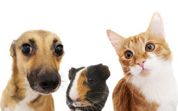 Cat and dog peeking Royalty Free Stock Images