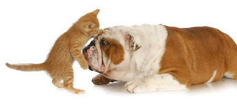 Cat and dog playing. Adorable kitten playing with english bulldog with reflection on white background Royalty Free Stock Photography