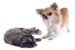 Cat and dog playing Royalty Free Stock Photos