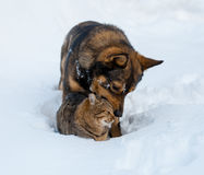 Cat and dog playing together on the snow Stock Images