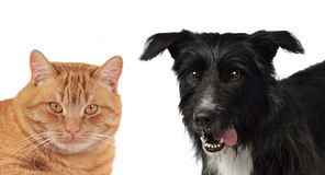 Cat and dog portraits. Cat and dog isolated on white background Royalty Free Stock Photos