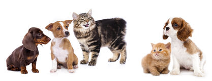 Cat and dog, Royalty Free Stock Photos