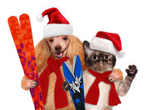 Cat and dog in red Christmas hats with skis. Isolated on white Royalty Free Stock Images