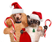 Cat and dog in red hat holds a Christmas candy. Royalty Free Stock Photography