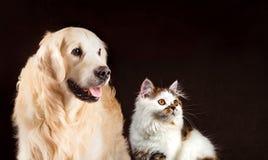 Cat and dog, scottish tortoiseshell white straight kitten, golden retriever looks at right Stock Photo