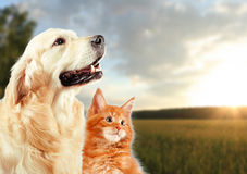 Cat and dog, siberian kitten , golden retriever looks at right Royalty Free Stock Photos