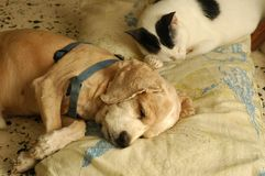 Cat Dog Sleeping. A cute cocker spaniel sleeping on the pillow beside his cat buddy Royalty Free Stock Photos