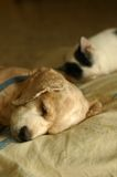 Cat Dog Sleeping. A cute cocker spaniel sleeping on the pillow beside his cat buddy Stock Images