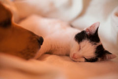Cat and dog. Dog and sleeping kitten. Friendship between dog and cat Royalty Free Stock Photo