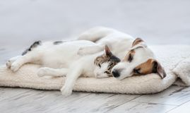 Cat and dog sleeping. Pets sleeping embracing stock photography