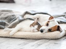Cat and dog sleeping. Pets sleeping embracing Stock Images