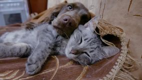 Cat and a dog are sleeping together funny video. friendship cat and indoors dog. Cat and dog are sleeping together funny video. friendship cat and indoors dog stock video