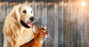 Cat and dog together, abyssinian cat, golden retriever look at right with sticking out tongue Stock Photo