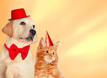 Cat and dog together with birthday party hats, maine coon kitten, golden retriever looks at right. Yellow background. Cat and dog together, maine coon kitten Stock Photos