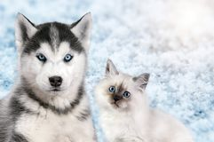 Cat and dog together on bright light snow background, neva masquerade, siberian husky looks straight. Christmas mood Royalty Free Stock Images
