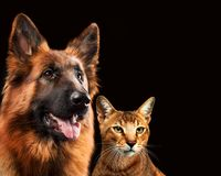 Cat and dog together, chausie kitten, abyssinian cat, german shepherd look at right, on dark brown background