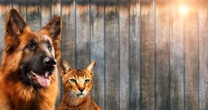 Cat and dog together, chausie kitten, abyssinian cat, german shepherd look at right, on wooden background