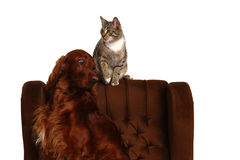 Cat and dog together Royalty Free Stock Image