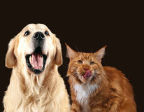 Cat and dog together, maine coon kitten, golden retriever look at right with sticking out tongues.  Royalty Free Stock Image