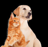 Cat and dog together, maine coon kitten, golden retriever looks at left isolated on black Royalty Free Stock Images