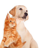 Cat and dog together, maine coon kitten, golden retriever looks at left isolated on white.  Stock Photography