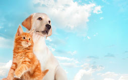 Cat and dog together, maine coon kitten, golden retriever looks at right. Blue sky, cloudy background Royalty Free Stock Photo