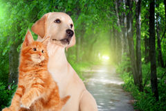 Cat and dog together, maine coon kitten, golden retriever looks at right in front of green trees Royalty Free Stock Photo