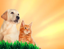 Cat and dog together, maine coon kitten, golden retriever looks at right. Yellow background Stock Image